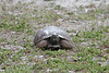 April 28, 2012 (Sanibel Lighthouse [near restrooms] / Sanibel Island, Lee County, Florida) -- Gopher Tortoise