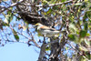 April 24, 2012, (Dry Tortugas National Park [inside Fort Jefferson in trees over grounds] / Garden Key, Monroe County, Florida) -- Dickcissel