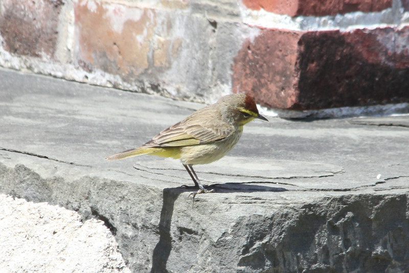 April 24, 2012, (Dry Tortugas National Park [inside Fort Jefferson on bubbler] / Garden Key, Monroe County, Florida) -- Palm Warbler