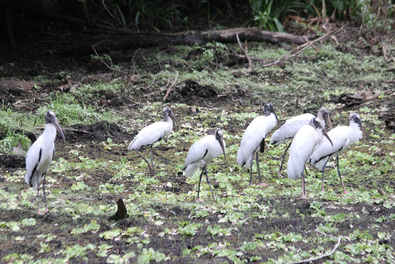 April 22, 2012 (Corkscrew Swamp Sanctuary [from boardwalk] / Collier County, Florida) -- Wood Storks