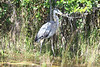 April 23, 2012 (Everglades National Park [from Shark Valley tram] / Miami-Dade County, Florida) -- Great Blue Heron