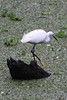 April 22, 2012 (Corkscrew Swamp Sanctuary [from boardwalk] / Collier County, Florida) -- Snowy Egret