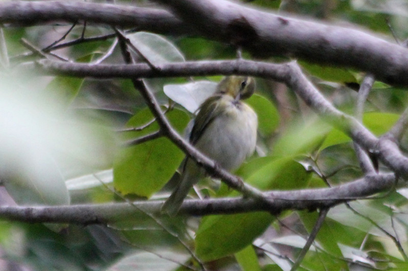 April 26, 2012, (Dagny Johnson Key Largo Hammock Botanical State Park / Key Largo, Monroe County, Florida) -- Swainson's Warbler