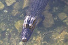 April 25, 2012, (Blue Hole [from boardwalk] / Big Pine Key, Monroe County, Florida) -- American Alligator