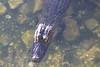 April 25, 2012, (Blue Hole [from boardwalk] / Big Pine Key, Monroe County, Florida) -- American Alligator
