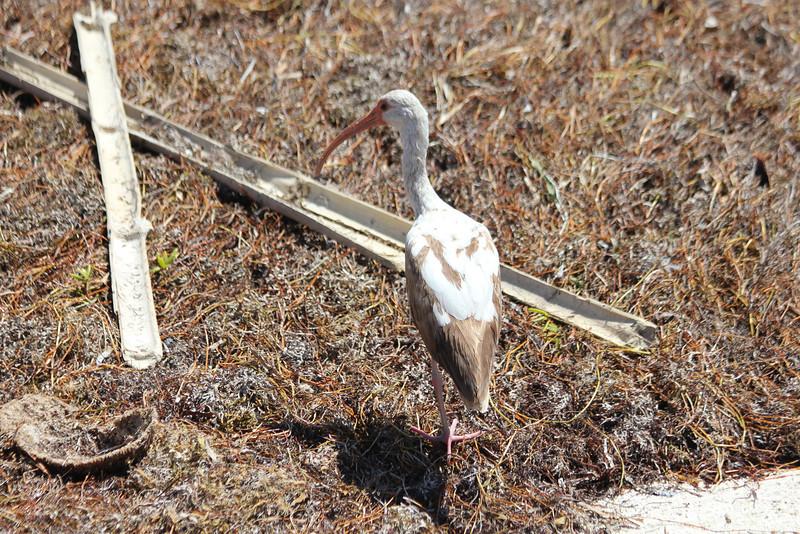 April 25, 2012, (Bahia Honda State Park [at roadside bridge] / Bahia Honda Key, Monroe County, Florida) -- Young White Ibis