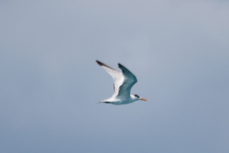 """April 24, 2012, (Dry Tortugas National Park [from """"Yankee Freedom II""""] / Monroe County, Florida) -- Royal Tern"""