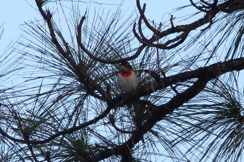 April 22, 2012 (Babcock-Webb State Wildlife Management Area / Punta Gorda, Charlotte County, Florida) -- Rose-breasted Grosbeak