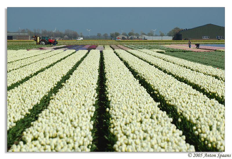 4. Tulip Fields