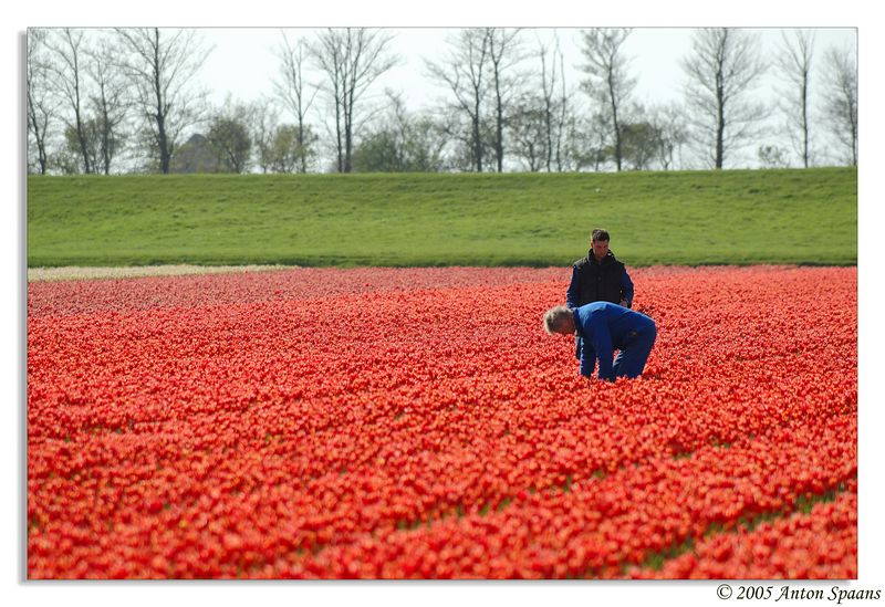 1. All these flower pictures are taken around the Anna Paulowna/Den Helder neighbourhood.<br/> Picking the flowers.