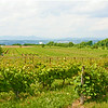 Vinyard Fields