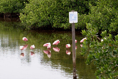 Spoon Bills at Ding Darling Nature Preserve, Sanibel Island.