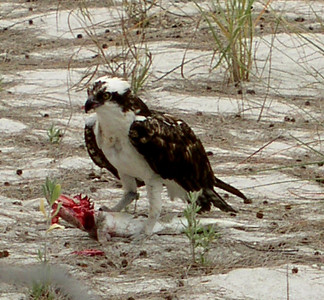 Osprey feeding outside the Mucky Duck restaurant on Sanibel Island.