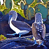 Blue footed boobie courtship dance