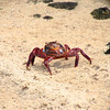 Galapagos Island sally lightfoot crabs