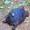 The number on the shell is for identification when the tortoise is returned to its island.