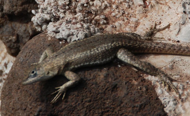 These are lava lizards.  They are just bigger than a Texas Gecko.