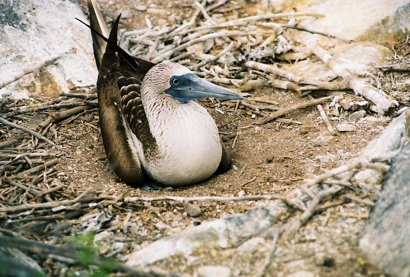 Blue footed booby nest.