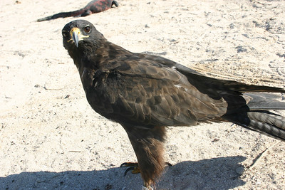 Different hawk, there is no way I would attempt to cuddle one of these, injured or not.  He looks like he wants to peck my eyes out.