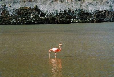 Flamingo - the bend in the middle of the leg is actually their ankle, their knee is up further towards their body.
