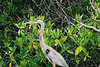 Heron, hanging out in the mangroves.
