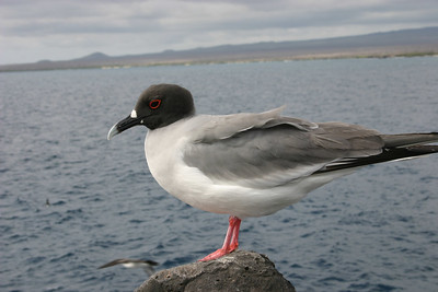 Lava gull - the most beautiful seagull in the world.