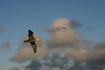 Albatross.  Although exceptionally clumsy on land, gorgeous in flight.