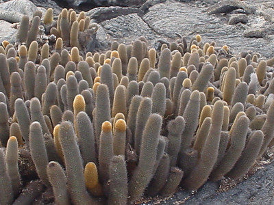 The famous Galapagos Lava Cactus.  Don't worry the jokes were rampant at each sighting.