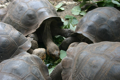 A giant tortoise huddle.  Not sure if they are fighting over vegetation or planning a mutiny.