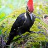 Pileated Woodpecker along auto-trail at Cades Cove, Tenn.