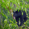 Young Black Bear foraging in trees in Cades Cove, TN.  Possible two year old juvenile that is still traveling with his mother.