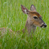 Young Whitetail doe hiding in the grass in Cades Cove, TN.