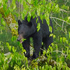 Black Bear cub.  Likely a twin from two years ago.  The sow bear besides the 2 year old twins had the company of a yearling and twin cubs from this year.