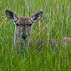 White-tail doe were in the field.  The grass was covered in drops of moisture.  The deer would lie down in the grass and stay still, I supposed in hopes of fooling me.  I walked right up to them or within 30 feet without their moving.