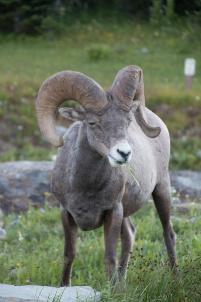 Bighorn Sheep on Logan Pass