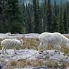 Resident mountain goats