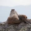 A baby marmot!