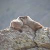 Marmot love!