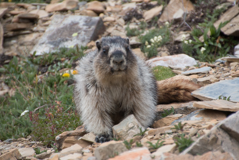 Watch out for the marmot!