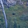 A Black bear from the Many Glacier parking lot.