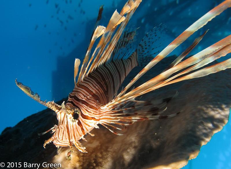 Lionfish_under_pontoon