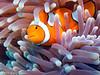 Clownfish_with_Anemone