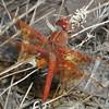 gc167_ThreeSpgsCnyn_Dragonfly
