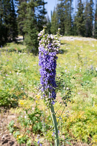Deformed Mountain Larkspur