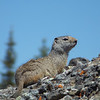 I believe this is a Yellow Bellied Marmot taken by Guy.