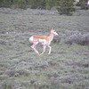 After the bear went into the woods, the pronghorn was still friskey looking for a new playmate.