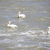 White Pelicans at the Teton Dam
