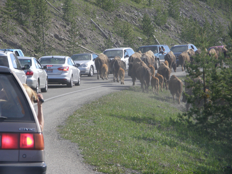 Over 100 buffalo decide to take over the road.