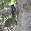 Yellow bellied Sapsucker (Red Naped type of Woodpecker)