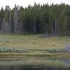 Elk herd, Hayden Valley